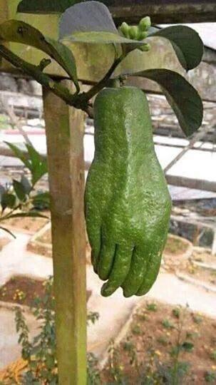 Hand guava? - meme