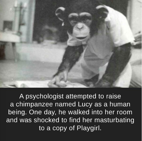 chimpanze - meme