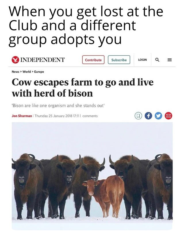Cow escapes farm to go and live with herd of bison - meme