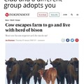 Cow escapes farm to go and live with herd of bison