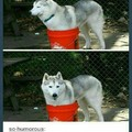 Huskies are nice dogs