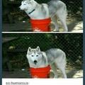 Huskies are nice dogs