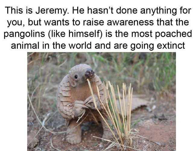Pangolins is the most poached animal in the world and are going extinct - meme