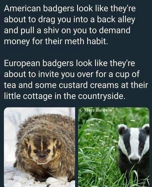 Badgers - meme