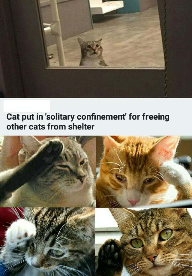 Cat put in solitary confinement for freeing other cats from the shelter - meme