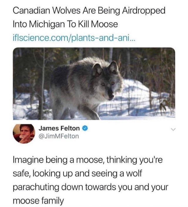 Canadian wolves are being airdropped into Michigan to kill moose - meme