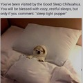 Good Sleep Chihuahua