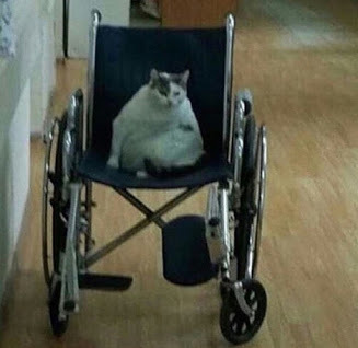 Wheelchair cat - meme