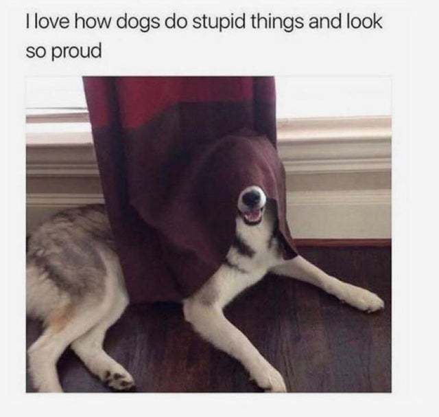 I love how dogs do stupid things and look so proud - meme