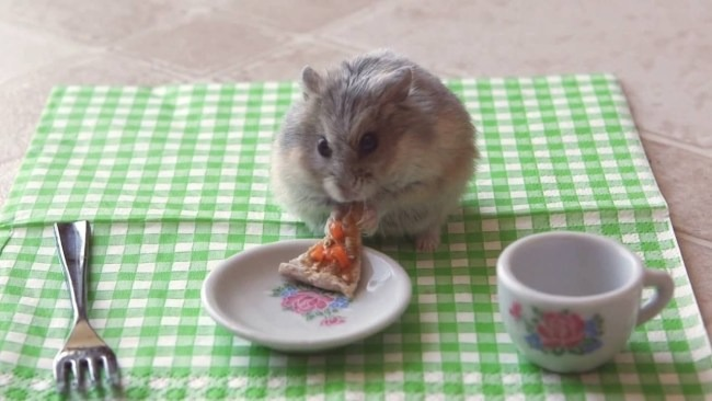 No meme, just a hamster