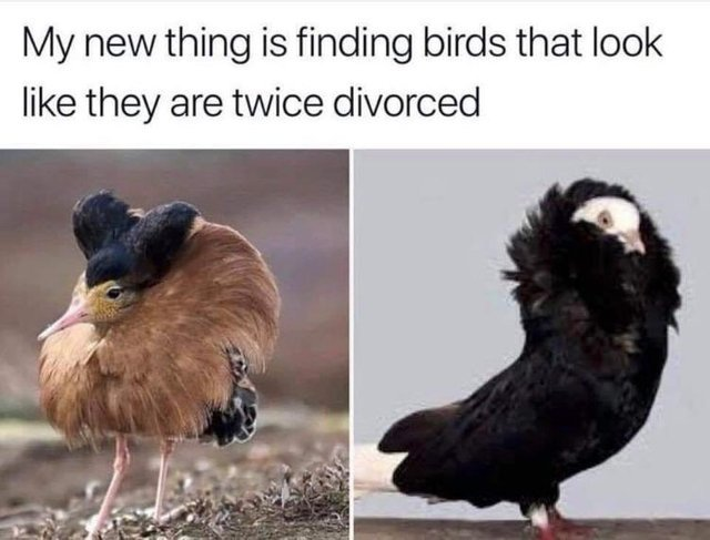 My new thing is finding birds that look like they are twice divorced - meme