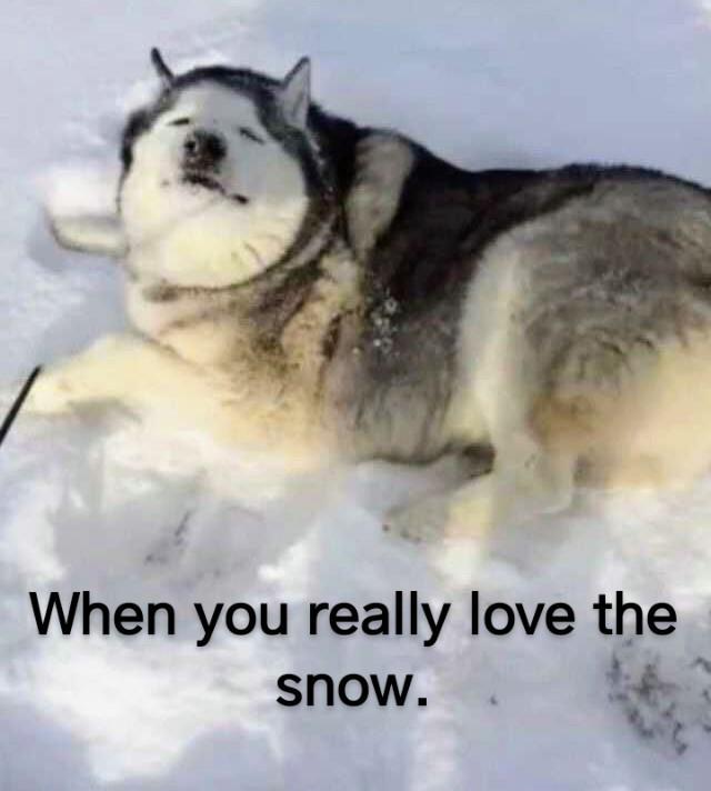 The Best Husky Memes Memedroid