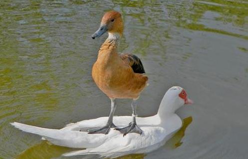 Duck riding a duck - meme