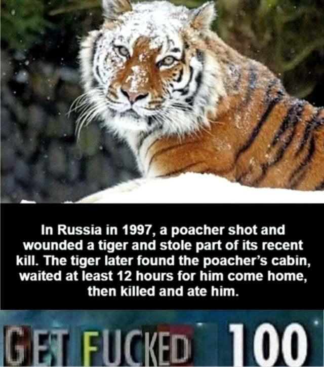Tiger revenge - meme