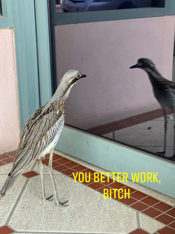 Confused Curlew - meme