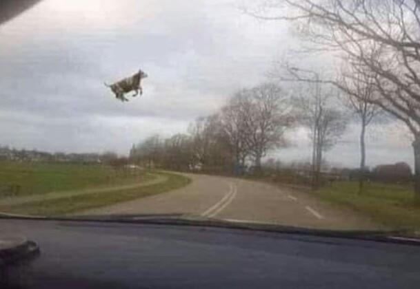 Vaca en modo creativo - meme