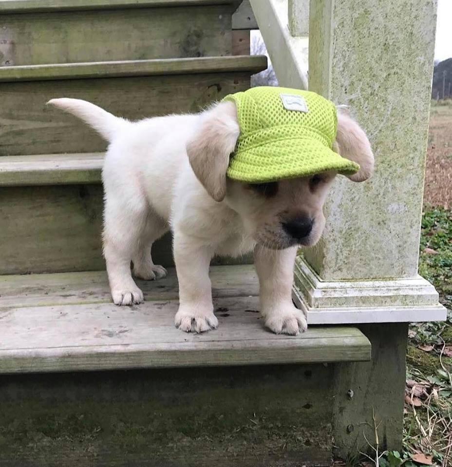 cute pupper in hat - meme