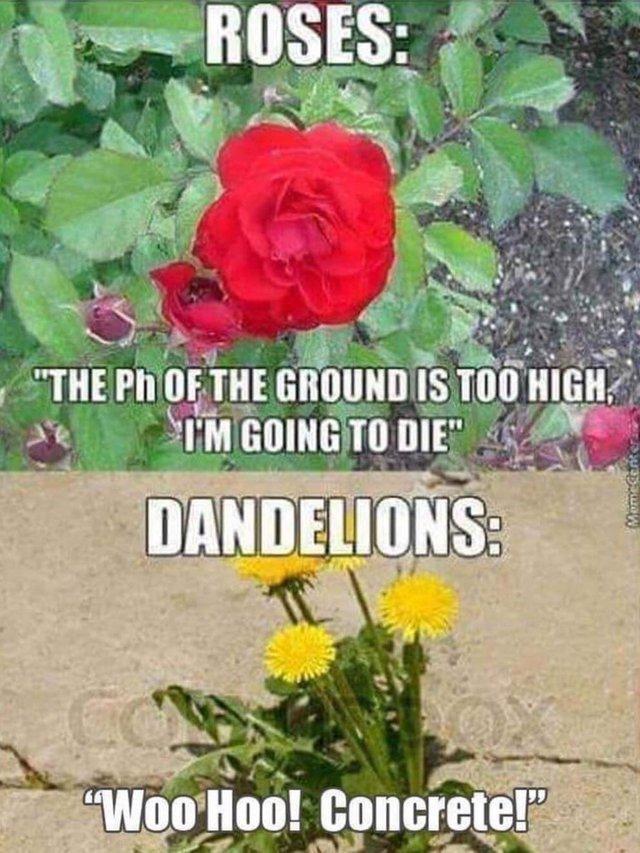 Roses vs Dandelions - meme