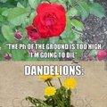 Roses vs Dandelions