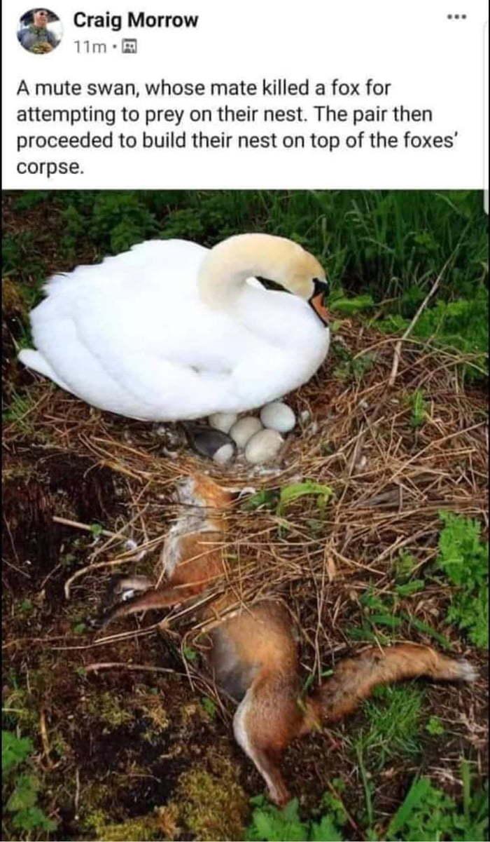 Savage Swans - meme