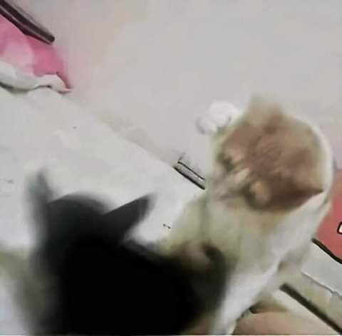 Gato le pega un vergazo a otro (termina mal) - meme