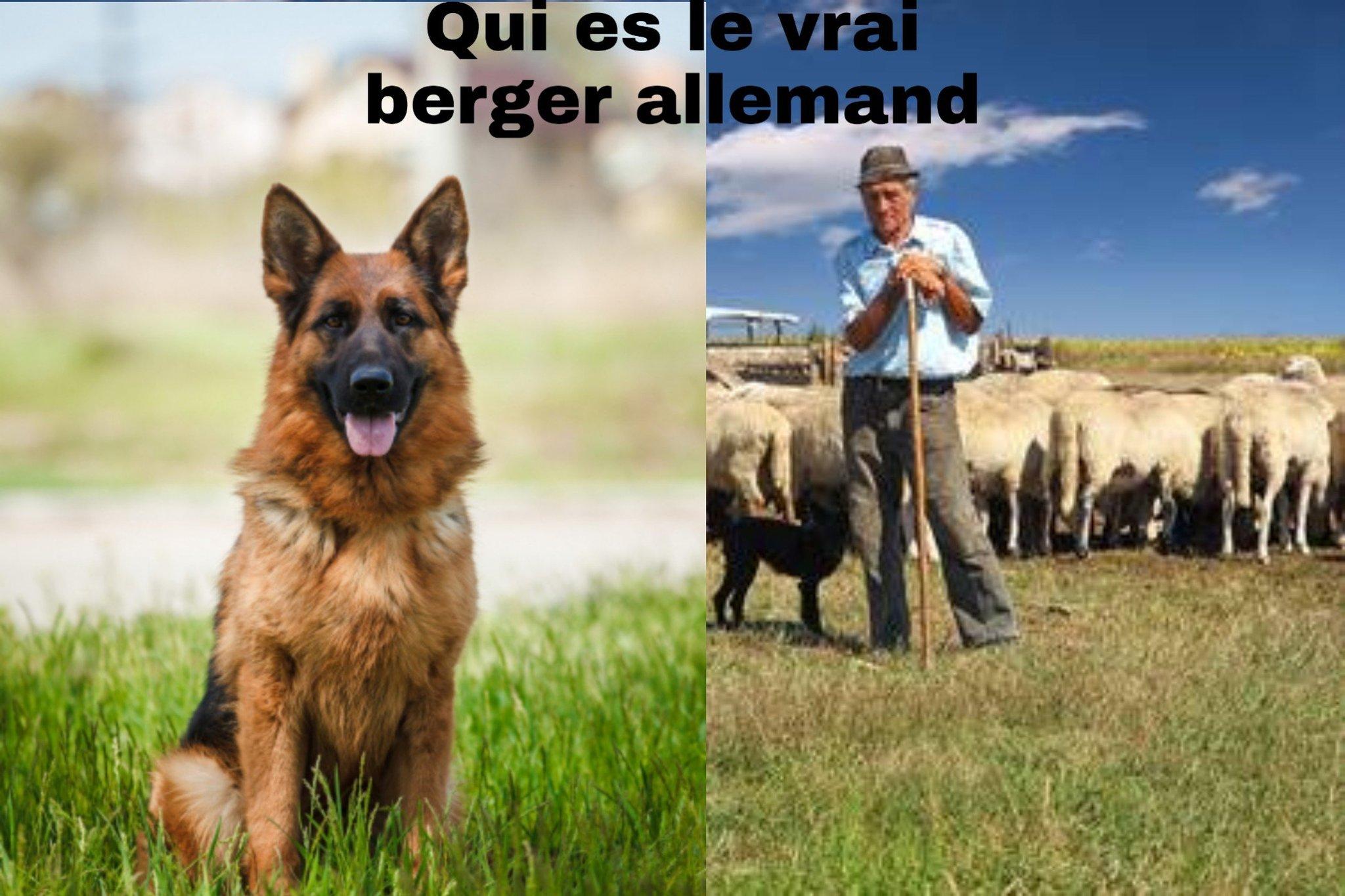 qui es le berger allemand - meme