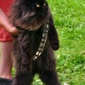 Mewbacca wookie cat