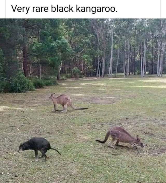 Rare black kangaroo - meme
