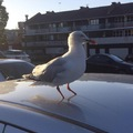 This seagull has no toes