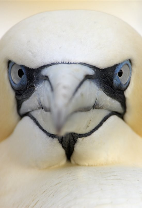 Face reveal (asi es soy un pájaro) - meme
