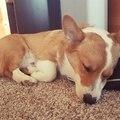Sleepy corgi to make your day better