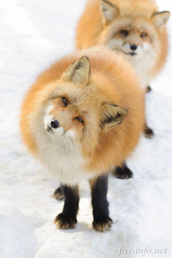 A loaf of fox - meme
