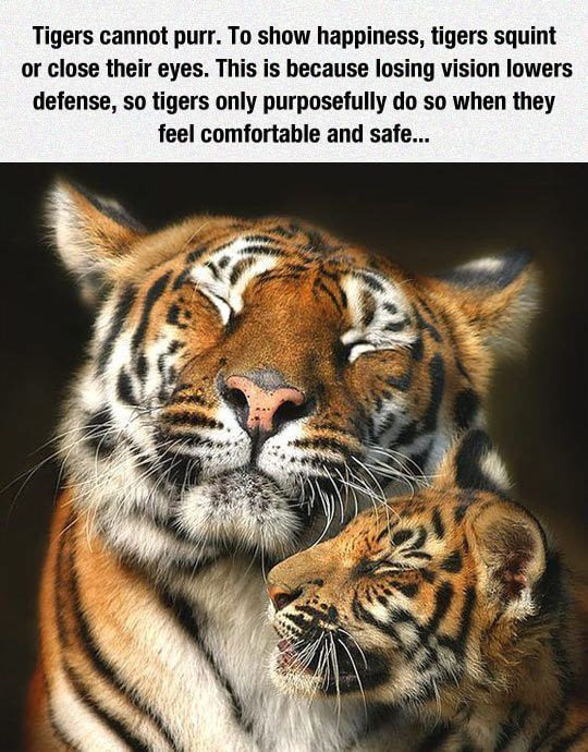 Tigers can't purr. - meme