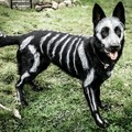 Skeleton pupper (cool idea for Halloween if you have a black dog)