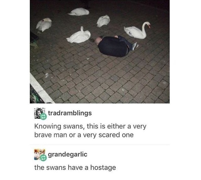 damn swans - meme