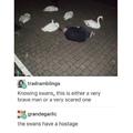 damn swans