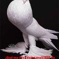 El palomo rey