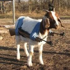 Cabra rusa - meme