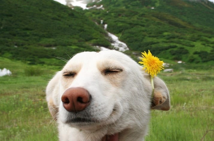 Just Doggo With Dandelion To Brighten Up Your Day. - meme