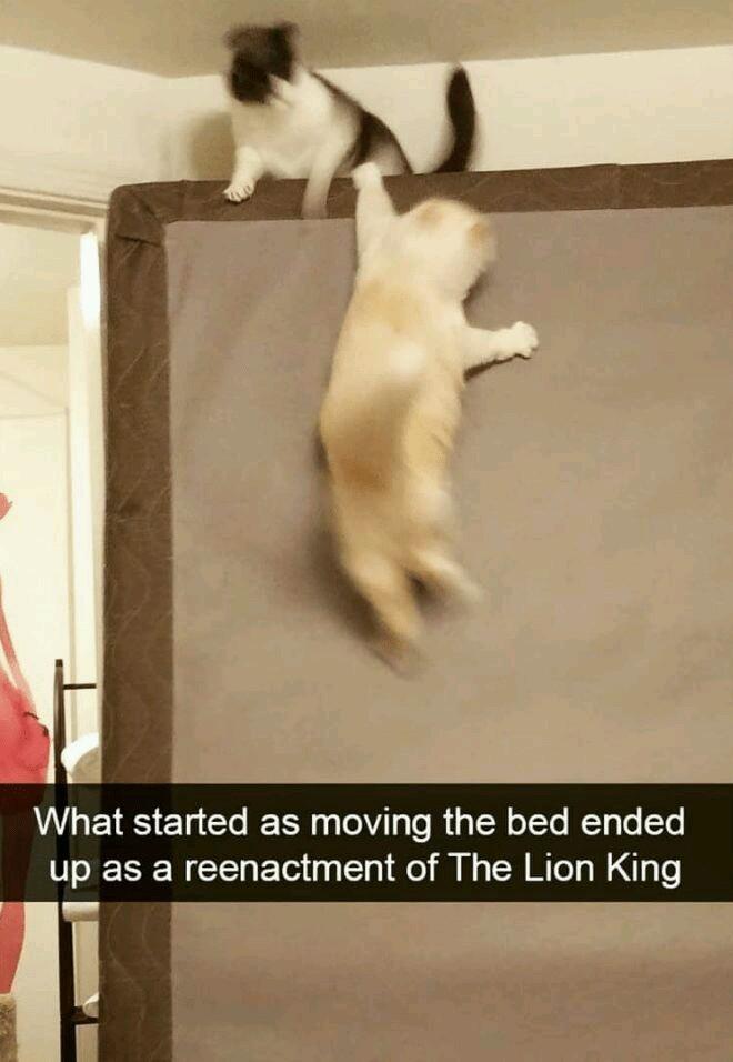 Lion king cats - meme