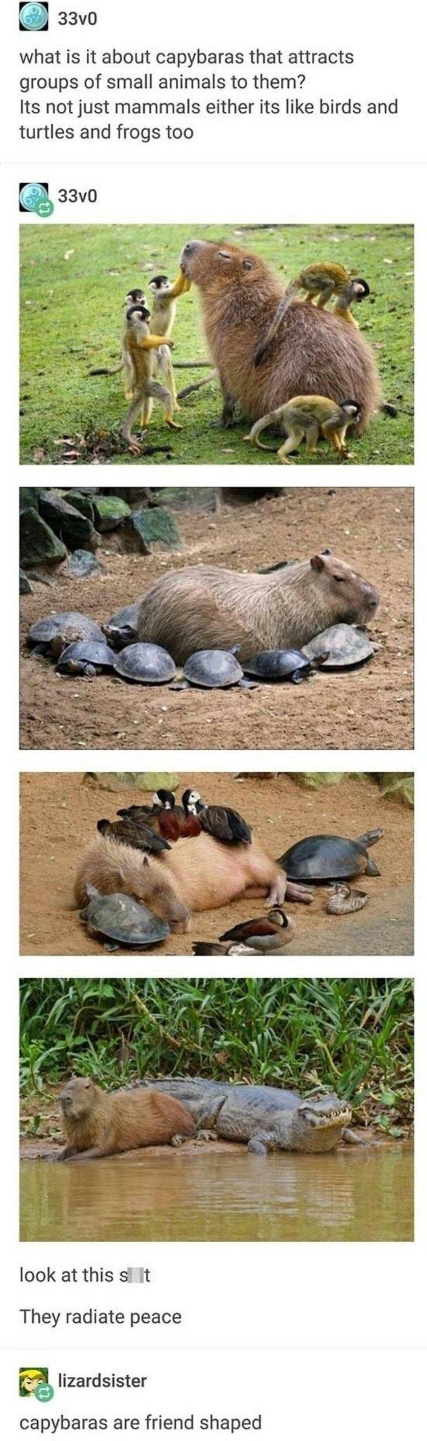 Capybara - meme