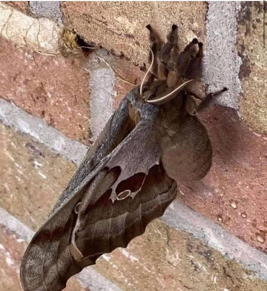 Araña con alas - meme