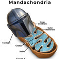 Mandachondria is the powerhouse of the cell.