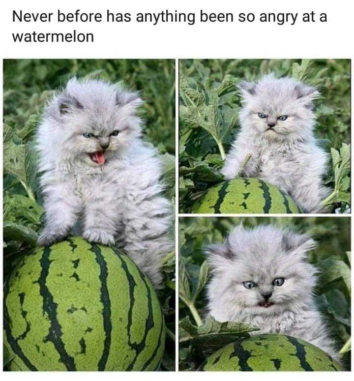 The Angry cat VS a normal watermelon - meme