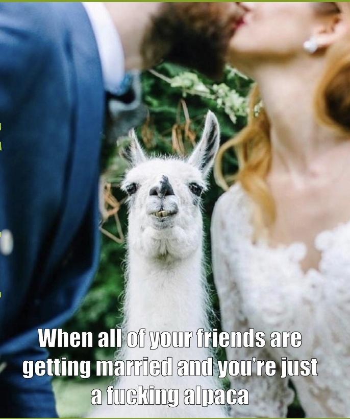 alpaca meme