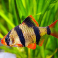 tiger barb (have them in big groups or they will attack other fish)