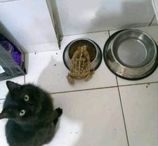 mi sapo encontro la comida de mi gato - meme